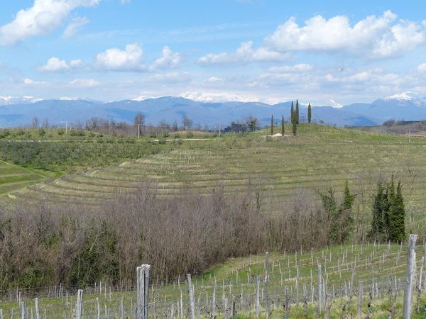 Vitis vinifera L. 'Friulano'