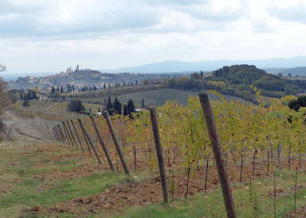 Vitis vinifera L. 'Vernaccia di San Giminiano'