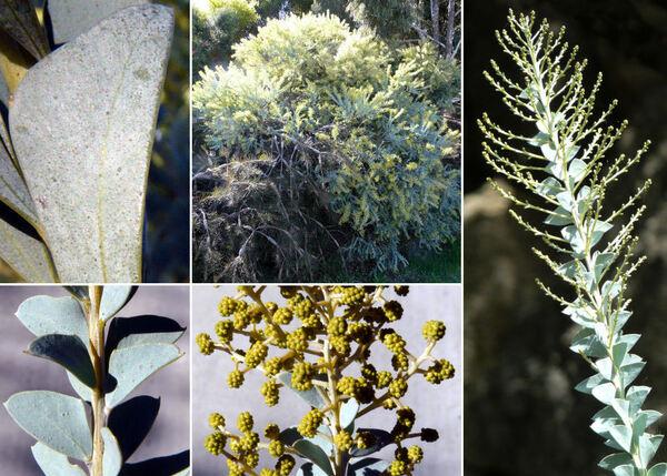 Acacia cultriformis A.Cunn. ex G.Don