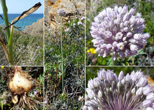Allium polyanthum Schult. & Schult.f.