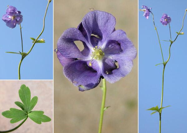 Aquilegia vulgaris L.