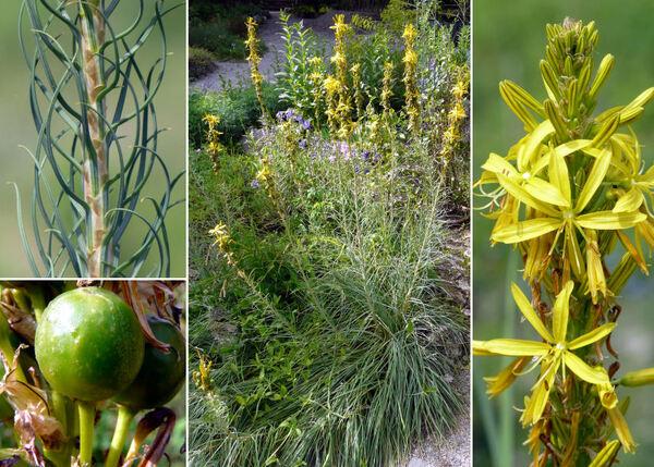 Asphodeline lutea (L.) Rchb.