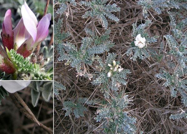 Astragalus thermensis Vals.