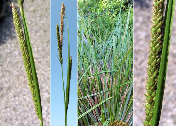 Carex microcarpa Bertol. ex Moris