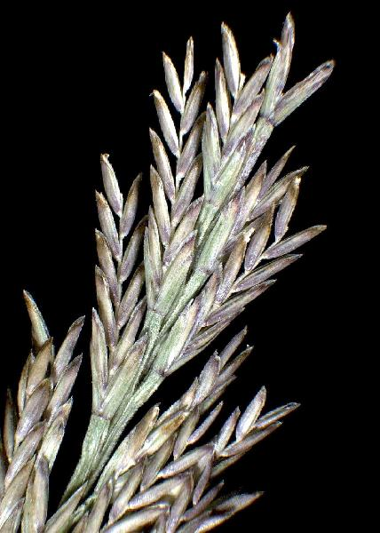 Catapodium balearicum (Willk.) H.Scholz