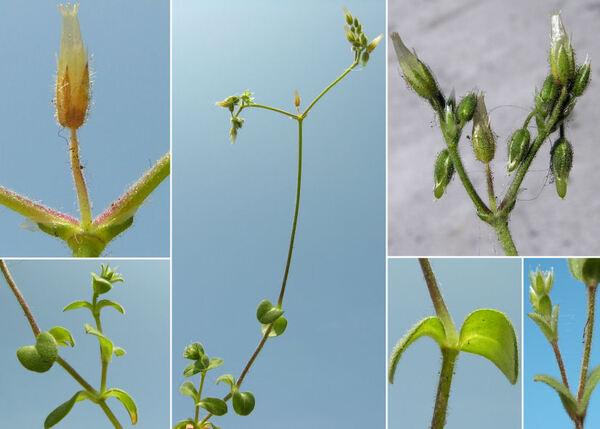 Cerastium semidecandrum L.