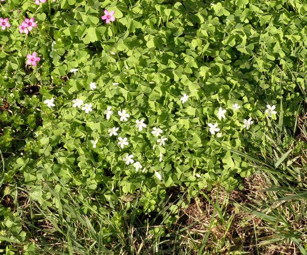 Oxalis articulata Savigny 'Alba'