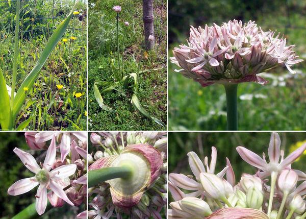 Allium nigrum L.