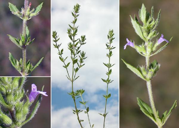 Ziziphora granatensis (Boiss. & Reut.) Melnikov