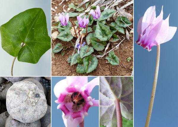 Cyclamen hederifolium Aiton subsp. hederifolium