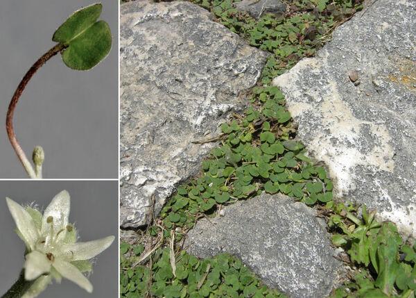 Dichondra micrantha Urb.