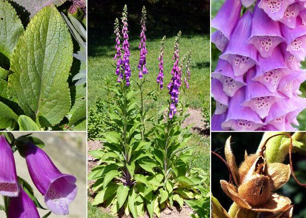 Digitalis purpurea L.