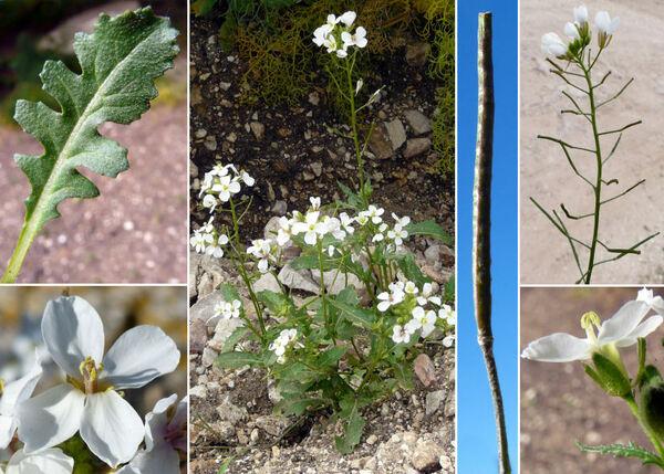 Diplotaxis erucoides (L.) DC. subsp. erucoides