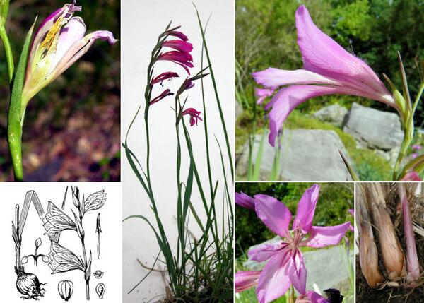 Gladiolus illyricus W.D.J.Koch