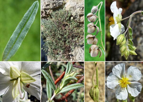 Helianthemum apenninum (L.) Mill. subsp. apenninum