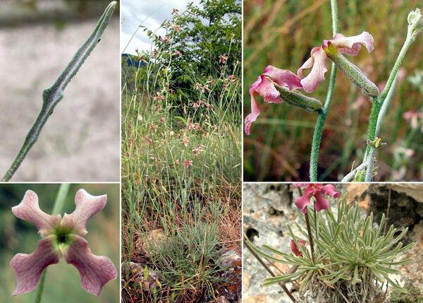 Matthiola fruticulosa (L.) Maire subsp. fruticulosa