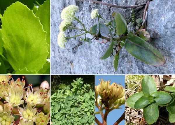 Hylotelephium maximum (L.) Holub subsp. maximum