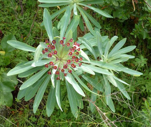 Euphorbia atropurpurea Brouss.