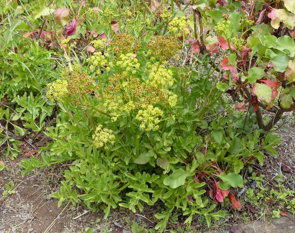Astydamia latifolia (L.f.) Baill.