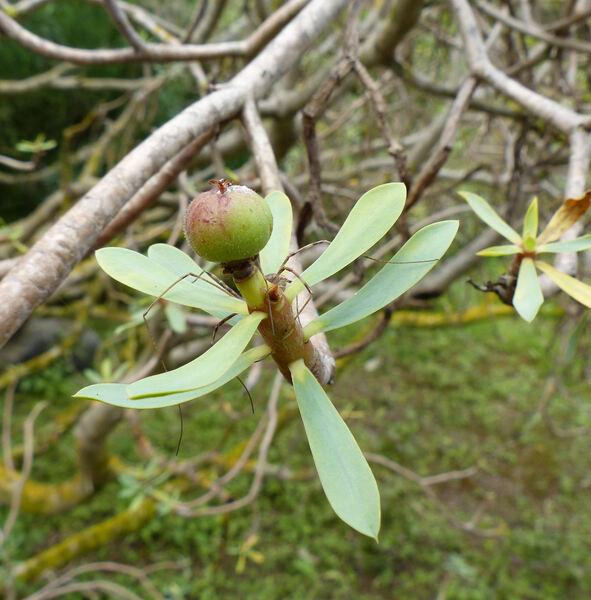 Euphorbia balsamifera Aiton