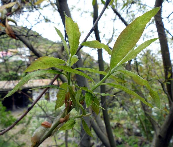 Salix canariensis C.Sm. ex Link