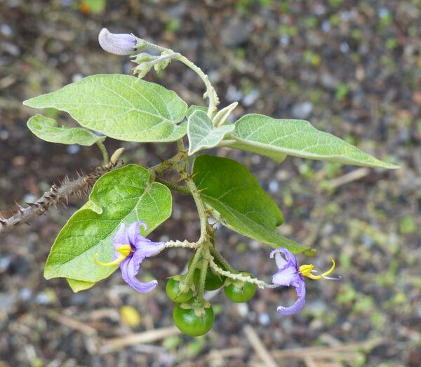 Solanum vespertilio Aiton subsp. doramae Marrero Rodr. & Gonz.-Mart.