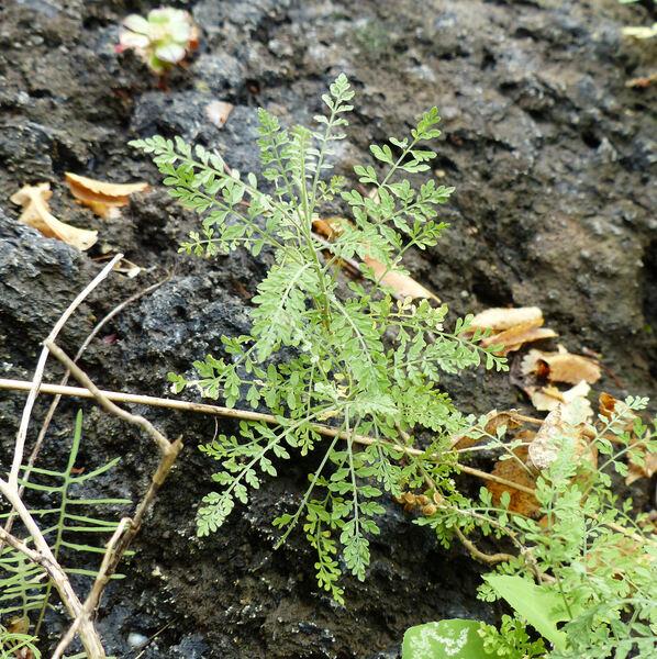 Descurainia artemisioides Svent.