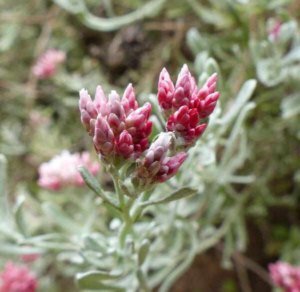 Helichrysum monogynum B.L.Burtt & Sunding