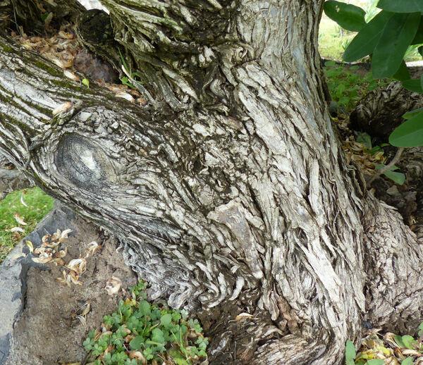 Anagyris latifolia Brouss. ex Willd.