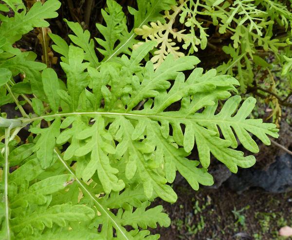 Gonospermum gomerae Bolle