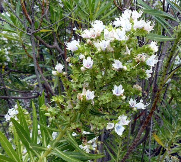 Echium decaisnei Webb & Berthel. subsp. purpuriense Bramwell