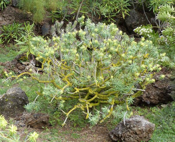 Euphorbia regis-jubae Webb & Berth.