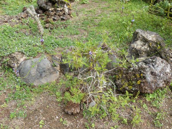 Lavandula canariensis (L.) Mill. subsp. fuerteventurae Upson & S.Andrews