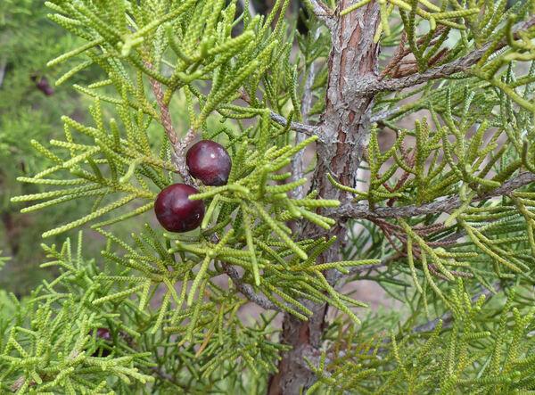Juniperus turbinata Guss. subsp. canariensis (Guyot & Mathou) Rivas Mart., Wildpret & P.Pérez