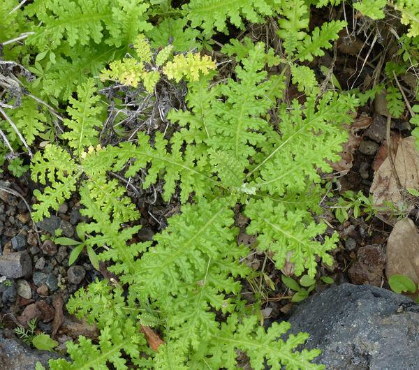 Argyranthemum coronopifolium (Willd.) Humphries