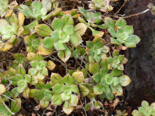 Aeonium x mascaense Bramwell