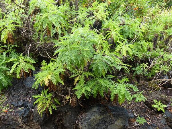 Gonospermum canariense (DC.) Less.