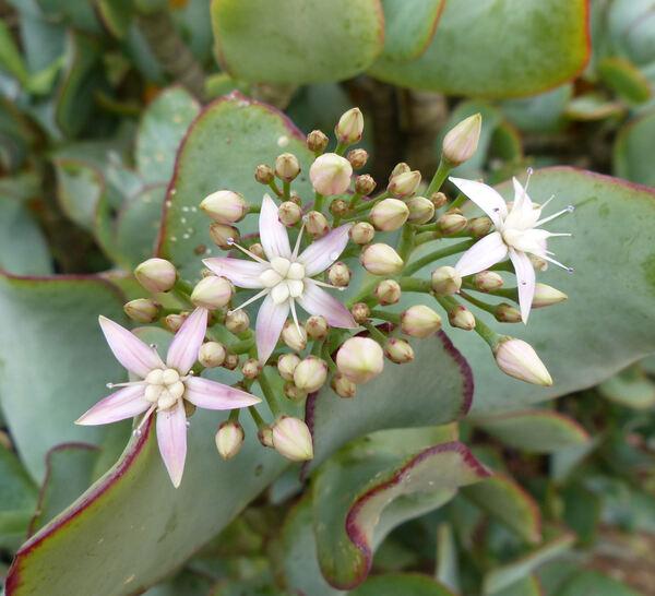 Crassula arborescens x obovata hort.