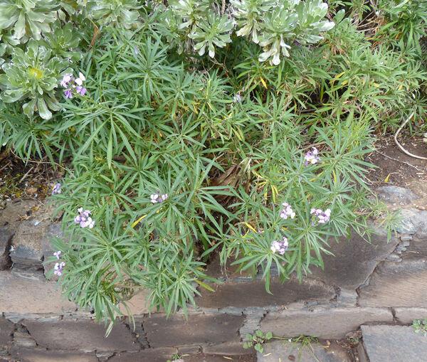 Erysimum bicolor (Hornem.) DC.