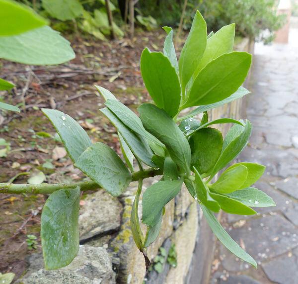 Vieraea laevigata (Willd.) Webb ex Sch.Bip.