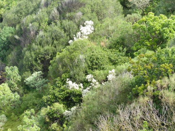 Retama raetam (Forssk.) Webb & Berthel. subsp. raetam