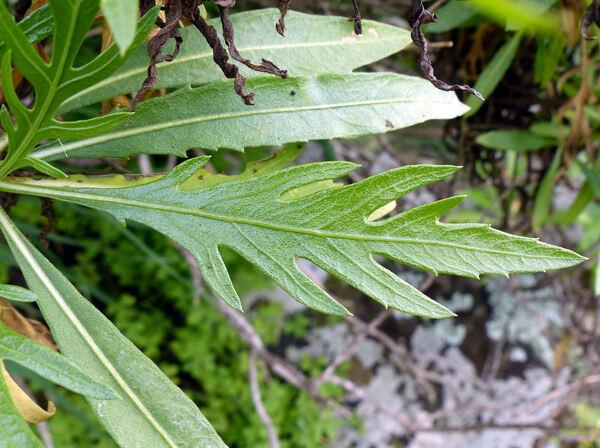 Cheirolophus falcisectus Svent. ex Montelongo & Moraleda