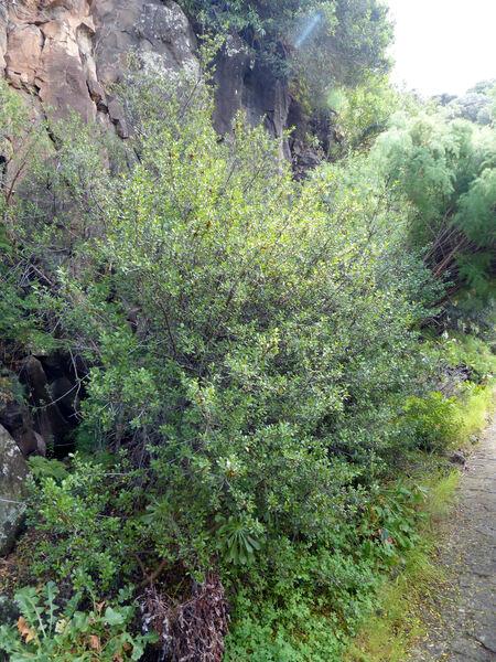 Rhamnus crenulata Aiton