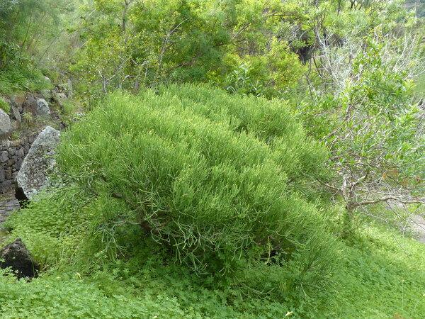Euphorbia aphylla Brouss. ex Willd.