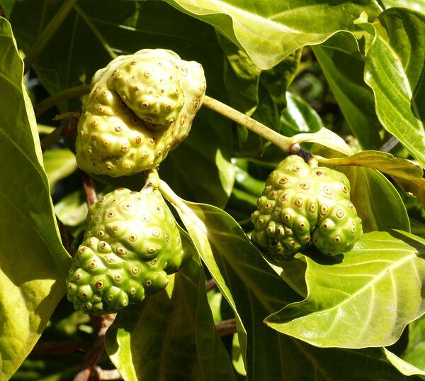 Morinda citrifolia L.