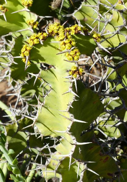 Euphorbia grandicornis Goebel ex N. E. Br.
