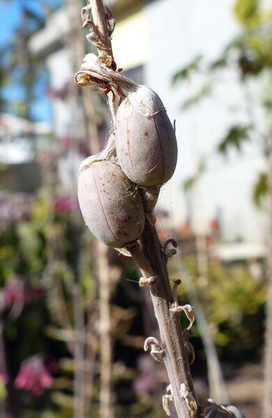 Aloë vera (L.) Burm.f.