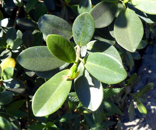 Ficus americana Aubl.