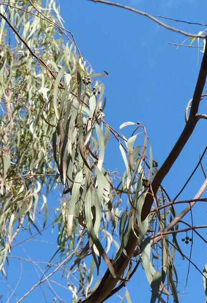 Eucalyptus globulus Labill. subsp. globulus