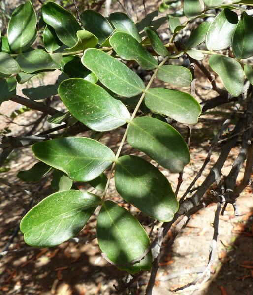 Caesalpinia echinata Lam.